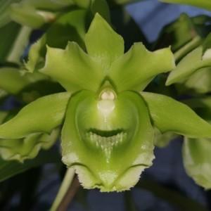 clowesetum-black-jade