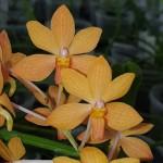 holcoglossum-rupestre-x-ascocentrum-curvifolium