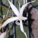 aerangis-arachnopus-x-jachsonii