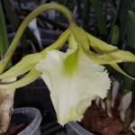 brassavola-jiminey-cricket-surprise-beauty