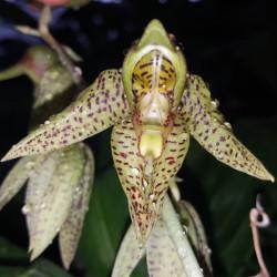catasetum-charleswhortii-x-ornithoides