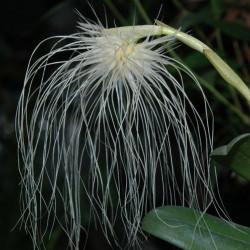 bulbophyllum-medusae