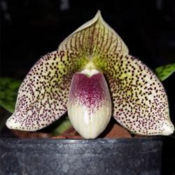 paphiopedilum-bellatulum-x-sukhakulii