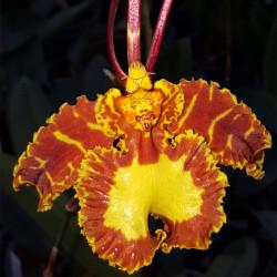 psychopsis-mariposa-gv