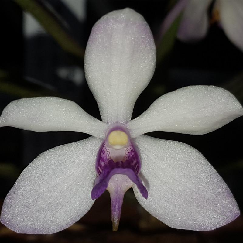 holcoglossum-flavescens-x-vanda-coerulescens