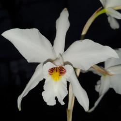 laelia-anceps-semialba