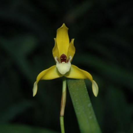 maxillaria-chrysantha