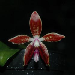 phalaenopsis-corningiana