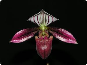 paphiopedilum purpuratum_01-1