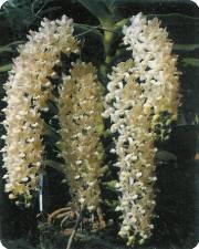 rhynchostillis gigantea alba(va0041)