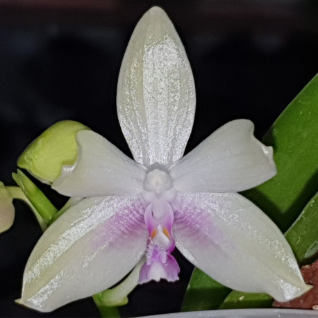 phalaenopsis-fimbriata