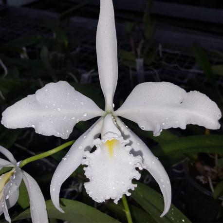 cattleya-maxima-alba